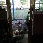  Ducks at the kitchen door for breakfast