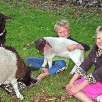 Pet sheep, chooks, ducks, rabbit, guinea pig to pet