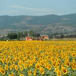  The sunflower fields with the Agriturismo in the background