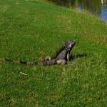  The iguanas at el Tigre Golf bring new hazards to golf