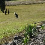  Kangaroos in the orchard