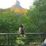 Cheeky kookaburra with Mt Coonowrin in background
