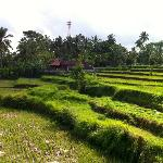 View of neighbouring rice fields from the Buddy bar