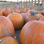 Pick Your Own Pumpkins at Summers Farm