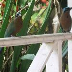  Blue crowned motmots (now renamed Trinidad Motmots)