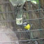  Feeding station with bananaquit
