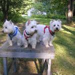  Our three Westies