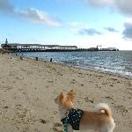 Our Chihuahua at Oak Bluffs beach as he gazes at the ferry docks.