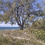  Coastal casurina tree.
