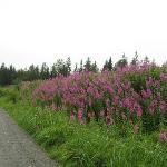 "local wildflowers called ""fireweed"""