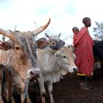Encountering the Maasai as they co-exist with the wildlife is one of the experiences on offer
