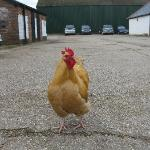 Rooster in the central courtyard area at Burgate Manor Farm