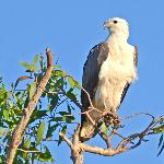 White-bellied Sea-Eagle. Aug 2012. Fogg Dam.