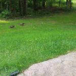 Yard area where ducks come up nightly to feed