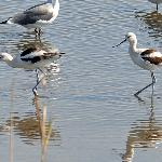  Avocets