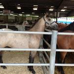  Connamara ponies for sale