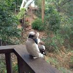 Kookaburra on the deck