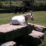 This goat was chillin' :)