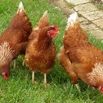 Our hens lay great eggs for breakfast and our cooking
