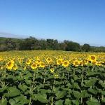  sunflowers near saint maurin