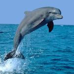 DOLPHIN PLAYING IN THE GULF OF MEXICO