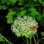  butterfly on queen anne&#39;s lace