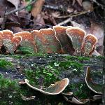  turkey tail fungus in the woods
