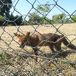  The wiley fox trapped !!