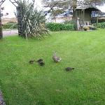 ducklings in the garden