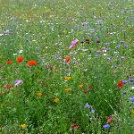 Wildflower meadows