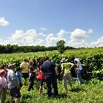 Learn about how our grapes are grown, trained, and harvested