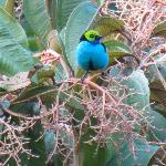 Paradise Tanager viewed from the dining room