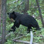  Bear on Bow Valley Pkwy five minutes north of cabin!