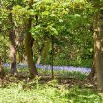 Bluebell Woods near the River Orwell