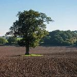 Lone Tree in Stour Valley
