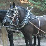 Pete & Jack, our Percheron draft horses