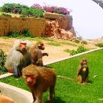 Just below the cable car ride a troop of baboons