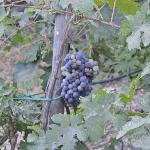 grapes at Domaine Sigalas