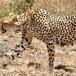 Saw 2 cheetahs on the drive from the airport