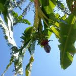 Banana trees near the pool
