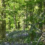 Bluebell woods in late May