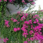 The beautiful bougainvillea by the pool