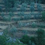 Amidst the olive groves