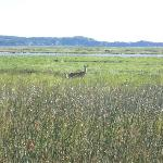 deer on the marsh