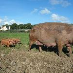  New baby pigs 2012