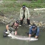 Just one of the many great sturgeon caught on our trip.