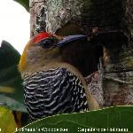 Hoffman´s woodpecker