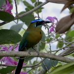  Blue .crowned Motmot