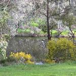 Golden wattle bushes along the Blackwood River