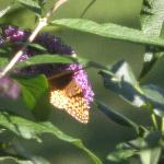  Pretty Butterfly on butterfly bush